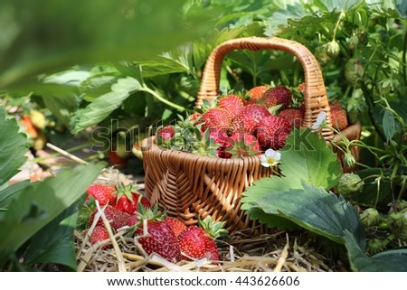 Harvest strawberry, ripe and sweet with leaves in wicker basket on bed and straw in garden, sunny summer day - stock photo