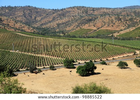 Harvest time in Chile's wine country - stock photo