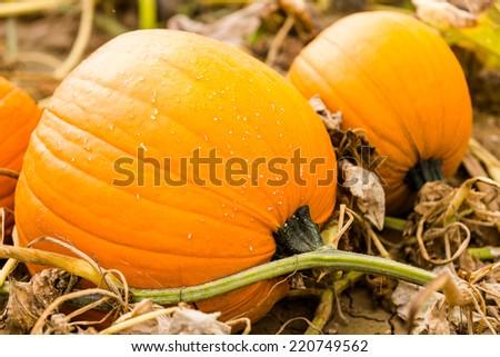 Harvest time on a large pumpkin farm. - stock photo