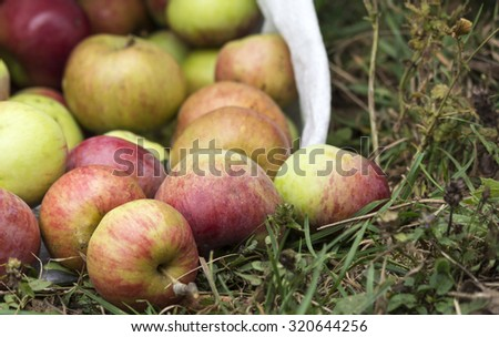 Harvested apples in white sack - stock photo