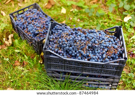 Harvested blue grapes in crates near vineyard in autumn