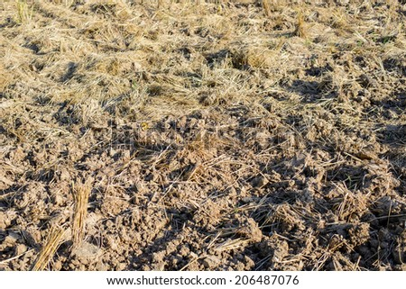 harvested rice field - stock photo