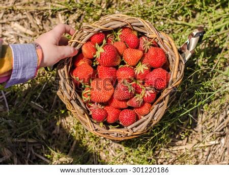 Harvested strawberries in the handmade basket - stock photo