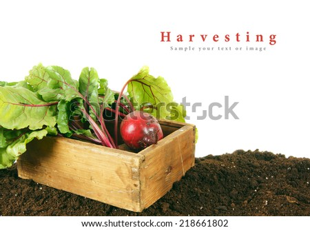 Harvesting. A beet in an old box on the earth.