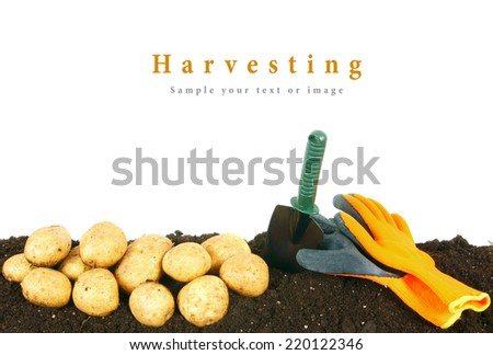 Harvesting. A potato and gardening tools on the earth.