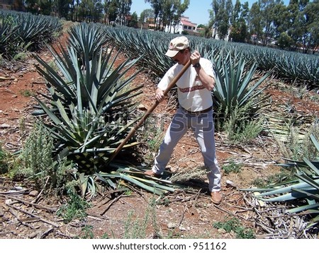 Harvesting agave for making tequila. Guadalajara, Mexico - stock photo