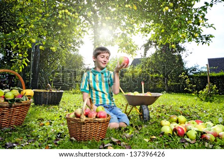 harvesting apples - boy helping in the garden with an apple in the hand and full basket - stock photo
