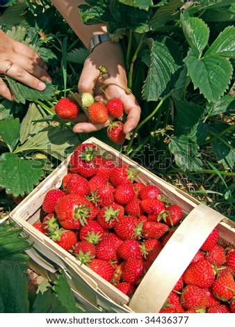 Harvesting by the student during a strawberry season - stock photo