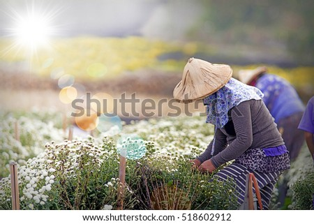 Harvesting chrysanthemum(daisies), which flowers In traditional Chinese medicine has a therapeutic effect so it is an economic crop.