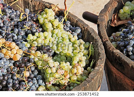 Harvesting grapes: Ripe grapes inside a bucket - stock photo
