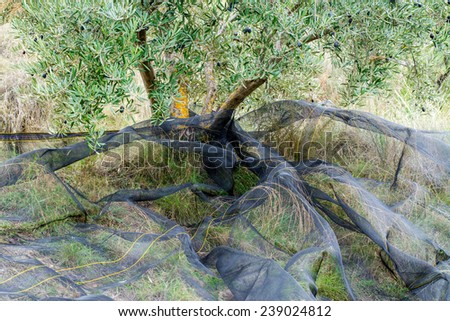Harvesting Net under an olive tree in Spain  - stock photo