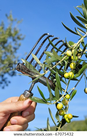 harvesting olives in an olive grove in Catalonia, Spain - stock photo
