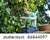 harvesting plums - boy`s helping in the garden with an plum in the hand and full basket - stock photo