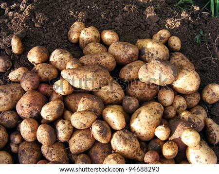 Harvesting potatoes - stock photo