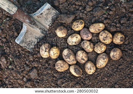 Harvesting potatoes. Fresh organic potatoes on the ground and shovel. - stock photo