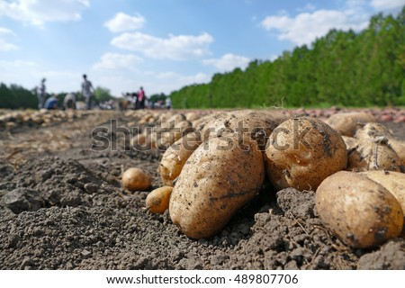 Harvesting potatoes on field, farm workers picking and transporting to the warehouse