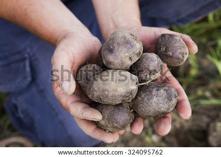 Harvesting Purple Potatoes - stock photo