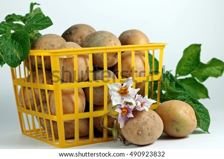 Harvesting. Ripe potatoes in yellow box, close-up