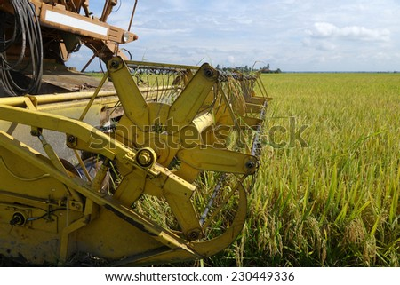 Harvesting ripe rice on paddy field under the blue sky - stock photo