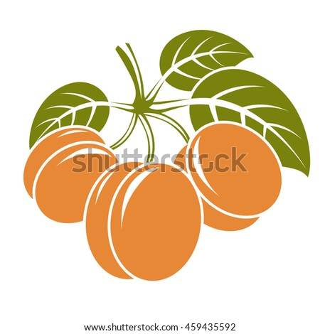 Harvesting symbol, fruits isolated. Ripe organic sweet apricots with green leaves, healthy food idea design icon. - stock photo