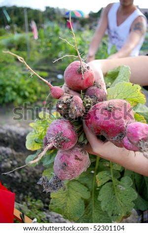 Harvesting the beetroots at farmland - stock photo