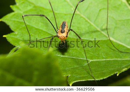 Harvestman spider standing on a tree leaf.