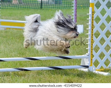 Havanes Leaping Over a Jump at Dog Agility Trial - stock photo