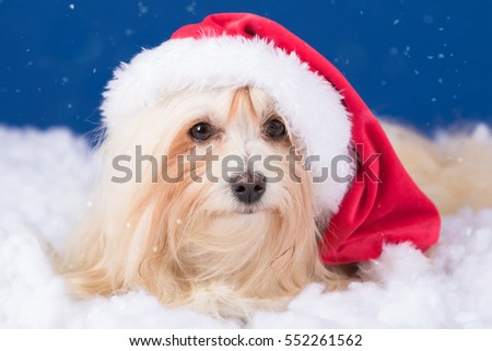 havanese dog in winter studio