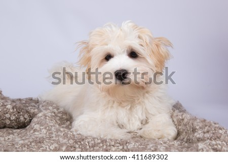 Havanese dog puppy studio portrait