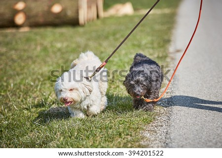 Havanese dog walking on the lead outside in springtime - stock photo
