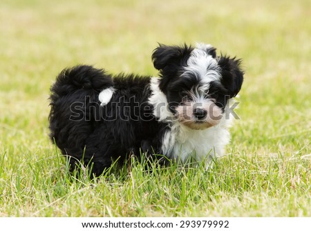 havanese puppy dog - stock photo