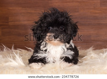 Havanese puppy 12 weeks old