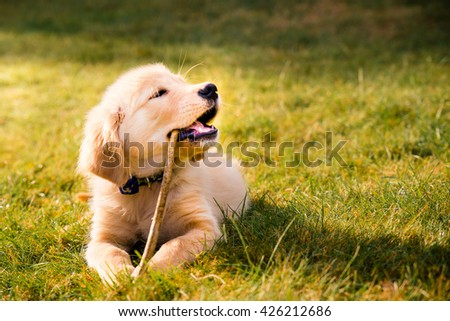 Having a day off, hanging at backyard! Golden Retreiver Portrait in the nature with green nature - stock photo