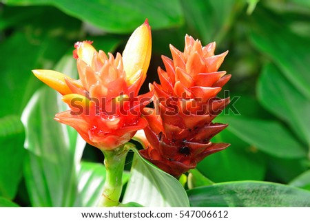 Hawaii ginger flower tropical garden Big Island of Oahu