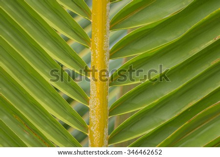Hawaiian coconut palm leaf/frond closeup with tones of green, yellow, and gold. - stock photo
