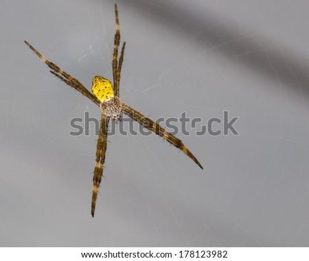 Hawaiian Garden Spider Argiope Appensa - stock photo