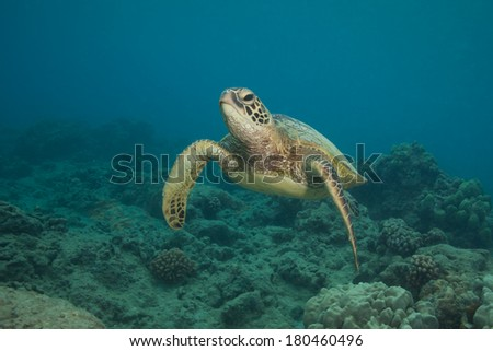 Hawaiian Green Sea Turtle swimming at the camera in clear Hawaiian water - stock photo