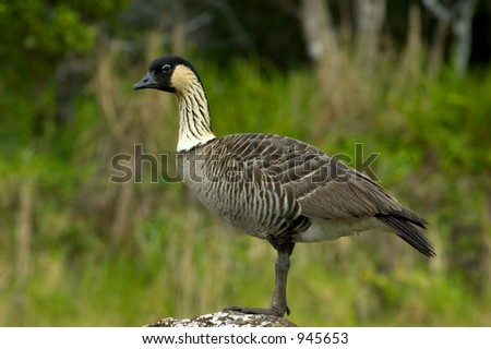 hawaiian nene bird