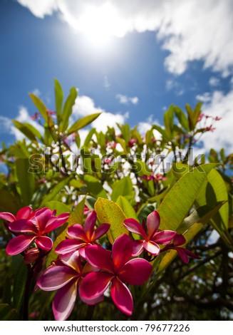 Hawaiian Pink Plumeria Sunshine - stock photo