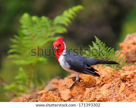 hawaiian red-crested cardinal in waimea canyon,  kauai  - stock photo