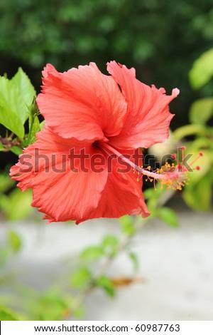 Hawaiian red flower - stock photo