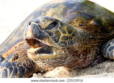 Hawaiian sea turtle - stock photo