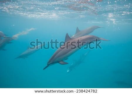 Hawaiian Spinner Dolphins Close - stock photo