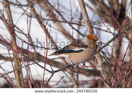 Hawfinch on dogwood branch