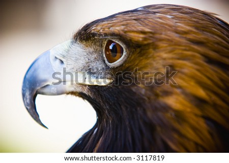 hawk close up eye - stock photo