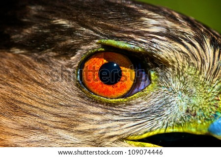 Hawk Eye - stock photo