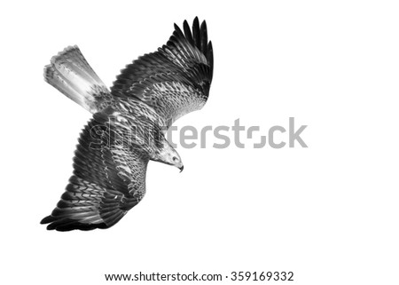 hawk Flying isolated bird white background Long legged Buzzard Buteo rufinus   - stock photo