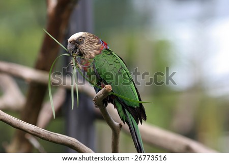 Hawk-headed Parrot also known as Red-fan Parrot