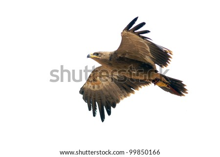 Hawk in flight isolated on a white background - stock photo