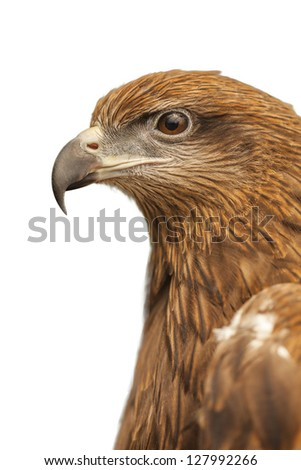 Hawk in isolated white background, - stock photo
